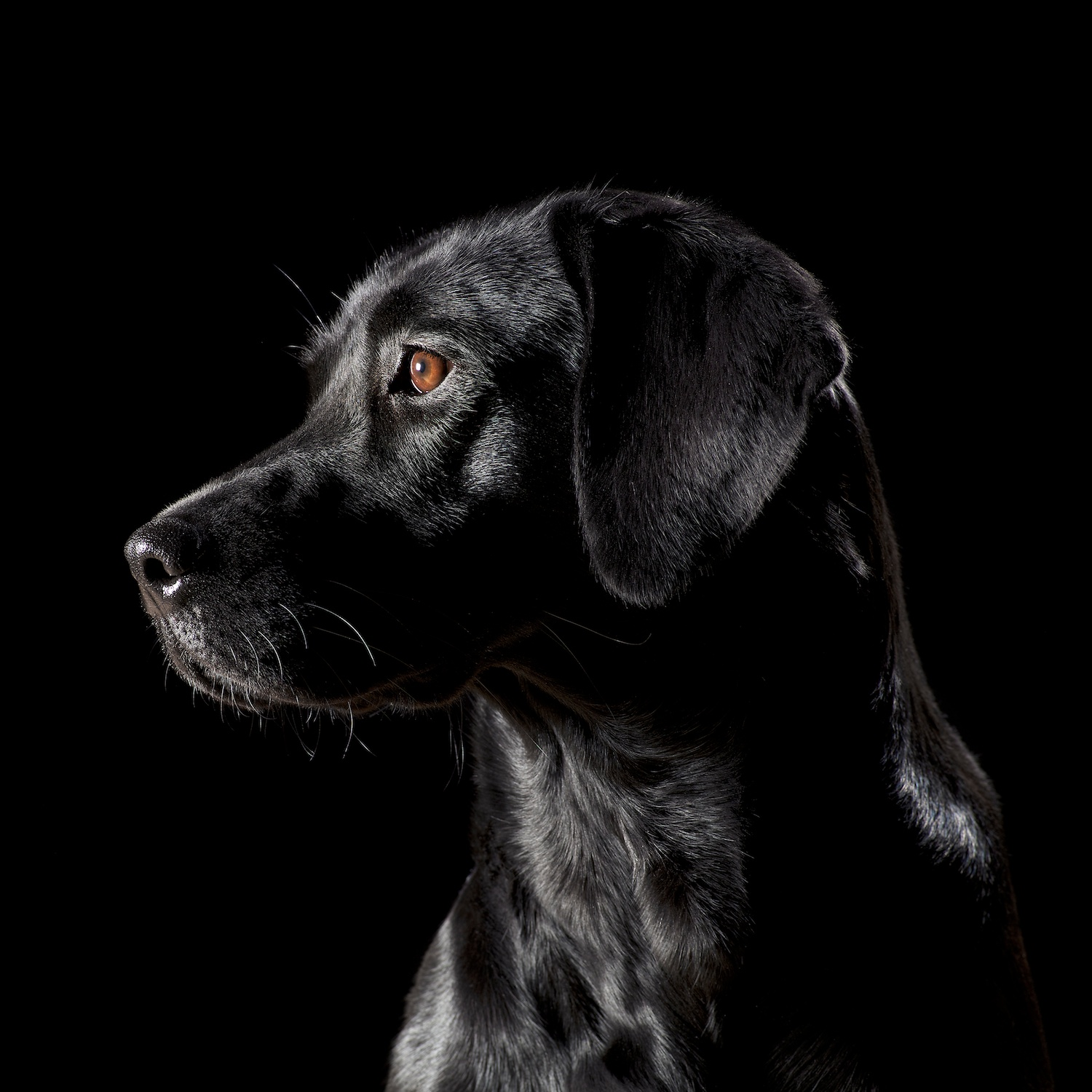 Black on Black Labrador