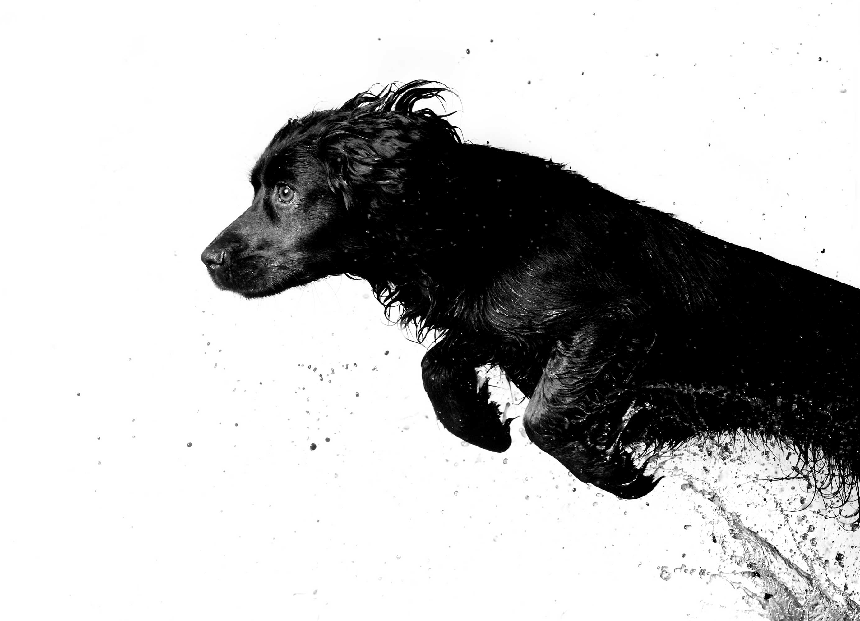 Cocker-Spaniel-Mark-Harvey