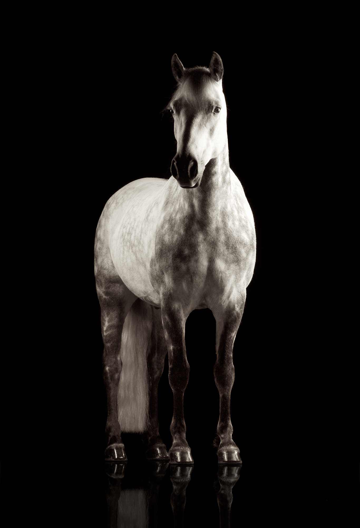 Dappled-Grey-Horse-