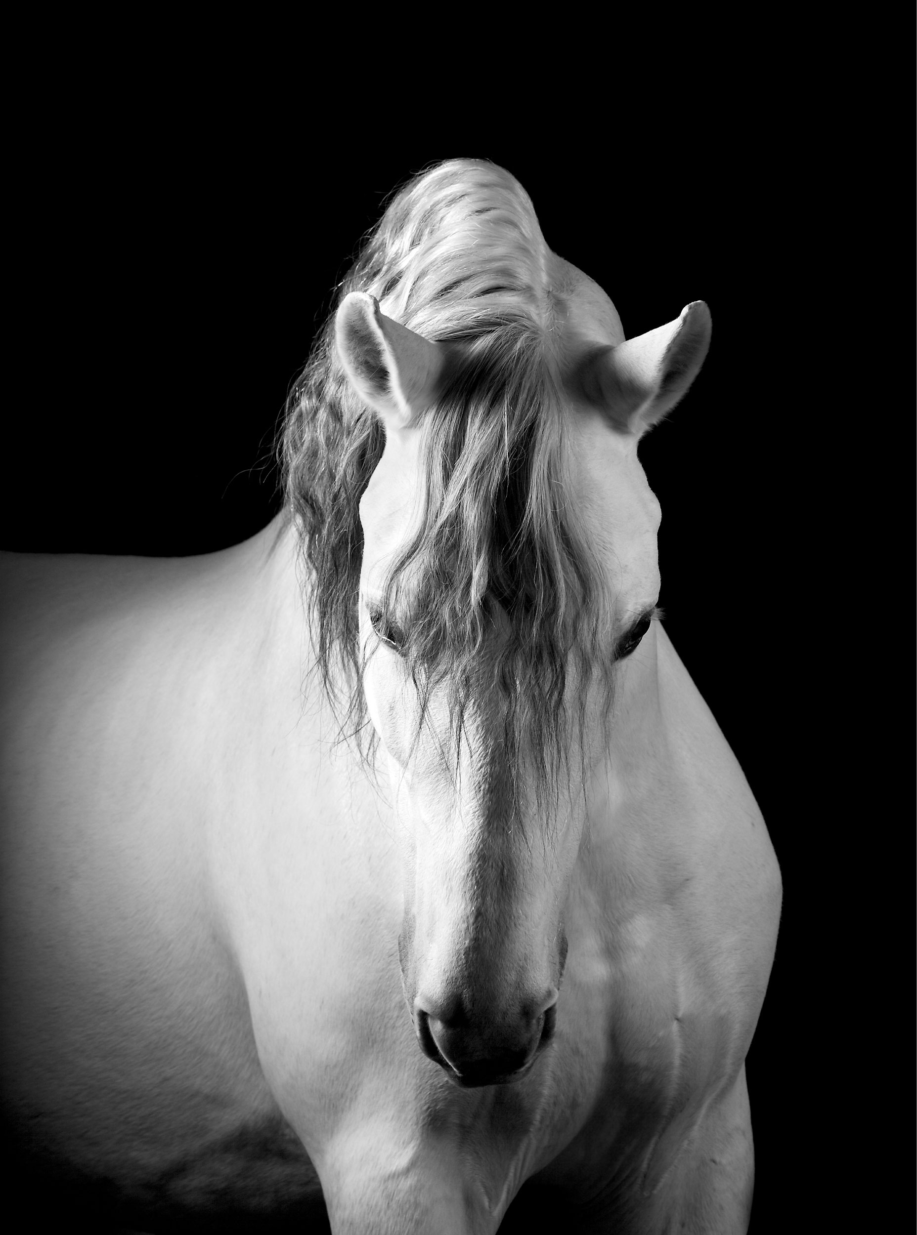 Mark-Harvey-Lusitano-Stallion