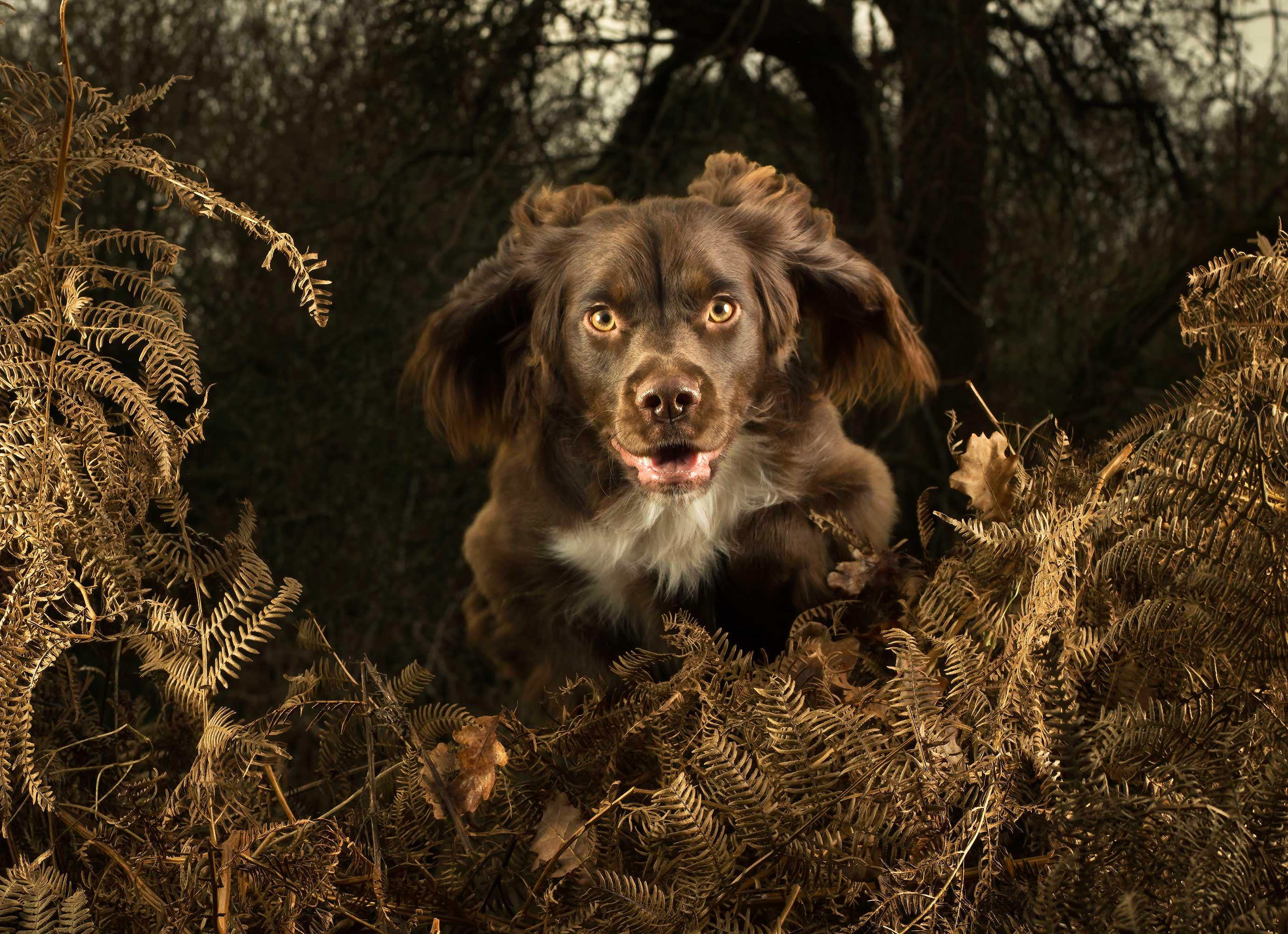 Springing-Spaniel-Mark-Harvey